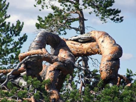 peculiar: close-up of a peculiar grown pint tree top Stock Photo