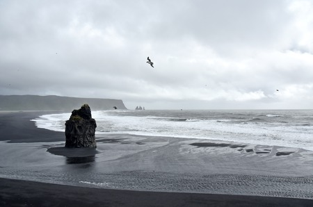 puffins: Coastal scenery at Dyrholaey, Iceland. A big rock stands centrally on this black volcano stone beach with puffins flying around it.