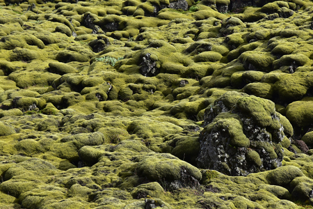 padding: Close-up of Icelandic moss landscape, soft and thick and in reach green. Typical fauna impression. Stock Photo