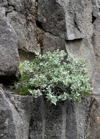 national plant: a plant growing on a black volcanic rock at Thingvellir National Park in Iceland. Nice contrast of colors. Thingvellir is part of the golden circle and the location of the continental drift between the North American and Eurasian Plates. Stock Photo