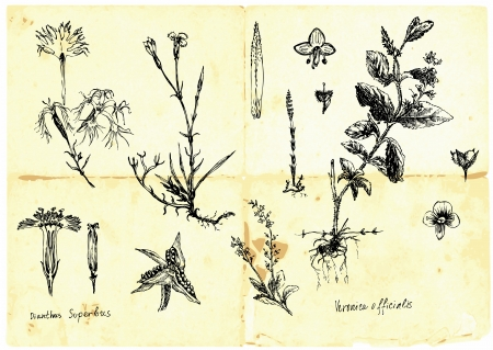 medicinal herb: Hand-drawn collection - medicinal herbs and wild flowers