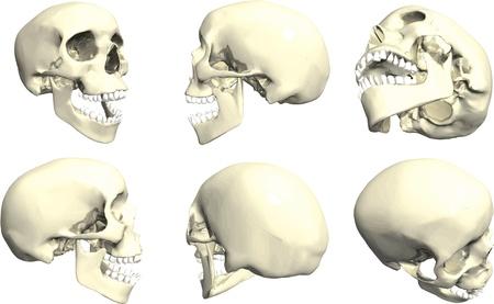 Series of human skulls Stock Vector - 14466109