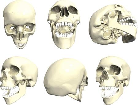 anatomic: Series of human skulls