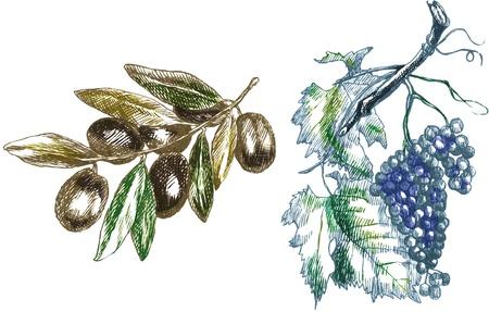 rama de olivo: dos ramas aceitunas y las uvas