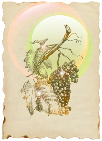 hand drawing, grapes photo