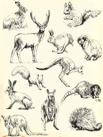 kangaroo: Hand drawings  black outlines  - Animals collection