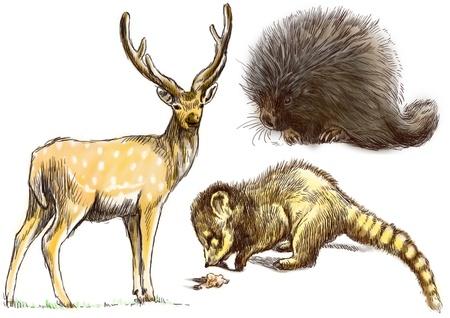 three animals: Raccolta di tre animali - cervi, Coati e disegno a mano Porcupine
