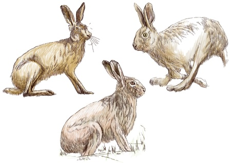 coney: Collection, three studies hare in motion    Hand drawing