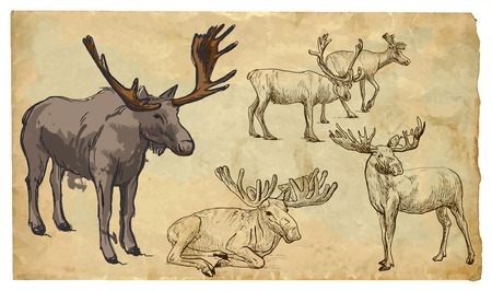 cervidae: REINDEER (Cervidae family). Collection of an hand drawn illustrations (originals, no tracing). Drawings are editable in layers and groups. The color layers are separated.