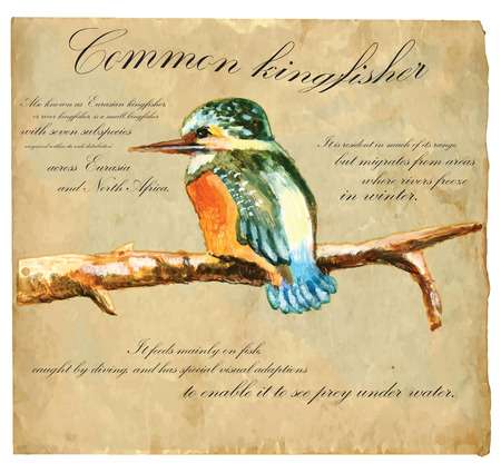 in common: An hand painted illustration into vector picture. Bird: Common Kingfisher Illustration