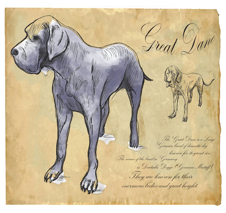 mastiff: Great Dane (German Mastiff) - an hand drawn illustration (vector). Drawing comprises of three layers of lines plus colored layer, the colored background is isolated. Illustration
