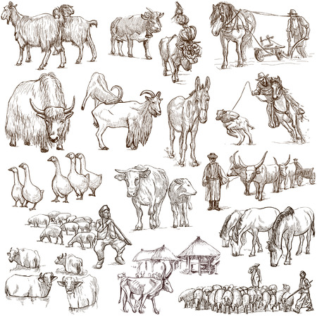 herdsman: Animals around the world (set no.12 - FARM ANIMALS) - Collection of an hand drawn illustrations. Description: Full sized hand drawn illustrations drawing on white.