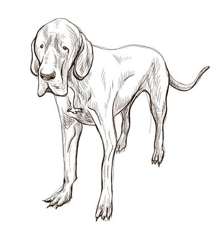 great dane: Great Dane (German Mastiff) - An hand drawn illustration. Description: Full sized hand drawn illustration (Original). Stock Photo
