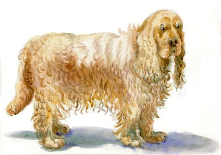 illustration technique: Cocker Spaniel - An hand painted illustration, water colors technique on white. Stock Photo