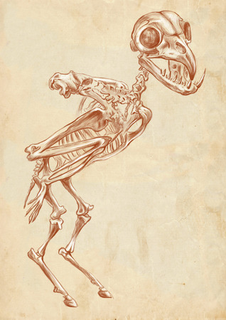 bestiary: Illustration of a series of legendary animals and monsters (skeleton): HARPY. An hand drawn and painted full sized illustration (Original). Version: