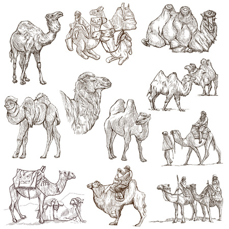 humps: CAMELS - Collection of an hand drawn illustrations. Description - Full sized hand drawn illustrations, freehand sketches, drawing on white background. Stock Photo