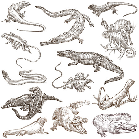 anguis: Lizards Collection of an hand drawn illustrations. Description Full sized hand drawn illustrations sketches freehand drawing on white background. Stock Photo