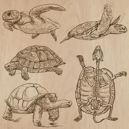 tortuga: TORTUGAS (paquete no.1) - Colección de una dibujados a mano ilustraciones de vectores. Cada dibujo comprenden unas pocas capas de líneas, el color de fondo se aísla. Fácil editable. (Nombre de las especies contenidas.)