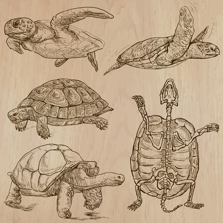 turtles: TURTLES (pack no.1) - Collection of an hand drawn vector illustrations. Each drawing comprise a few layers of lines, the colored background is isolated. Easy editable. (Name of species contained.)