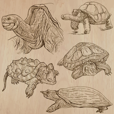 turtle: TURTLES (pack no.3) - Collection of an hand drawn vector illustrations. Each drawing comprise a few layers of lines, the colored background is isolated. Easy editable. (Name of species contained.)