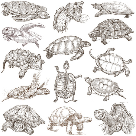 TURTLES (Tortoises) - Collection of an hand drawn illustrations. Description - Full sized hand drawn illustrations. Freehand sketches, drawing on white background.