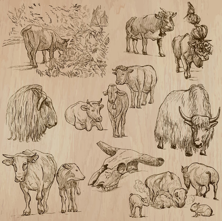 bovid: Animals around the World - COWS and CATTLE - Collection of an hand drawn vector illustrations. Each drawing comprise a few layers of lines, the colored background is isolated. Easy editable.