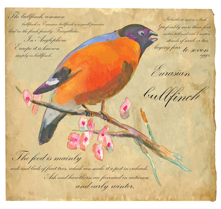 eurasian: An hand painted illustration into vector picture. Bird, Eurasian Bullfinch Illustration