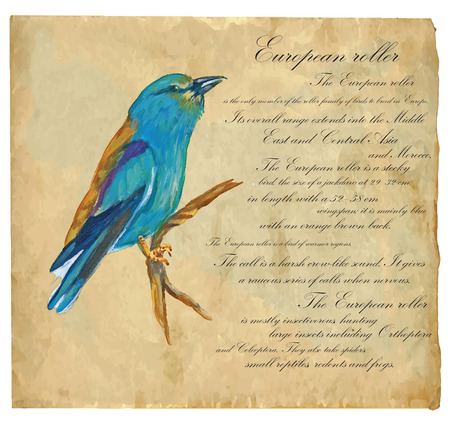classical arts: An hand painted illustration into vector picture. Bird, European Roller