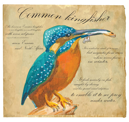 common kingfisher: An hand painted illustration into vector picture. Bird, Common Kingfisher Illustration