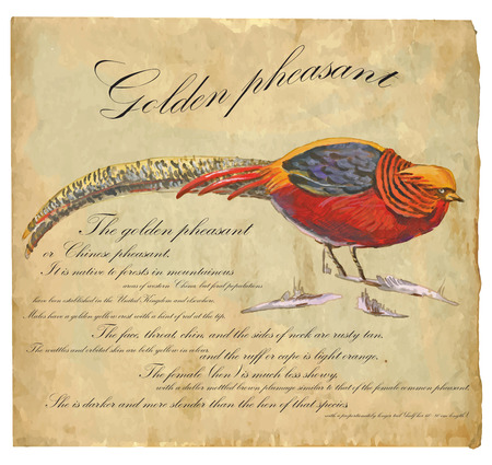 pheasant: An hand painted illustration into vector picture. Bird, Golden Pheasant