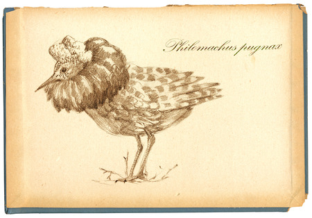 illustration technique: An hand drawn illustration, pencil technique. Bird, Ruff bird. (Vintage variation.)