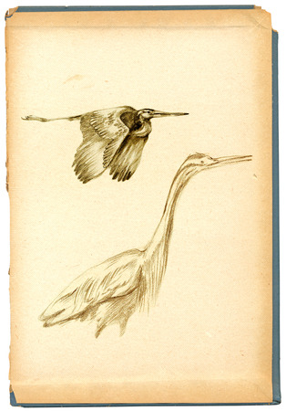 herons: An hand drawn illustration, pencil technique. Bird, Herons (vintage variation).