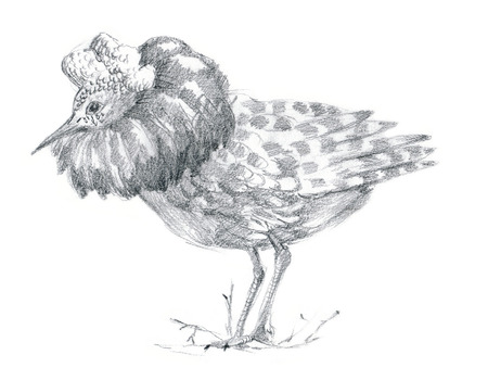 illustration technique: An hand drawn illustration, pencil technique. Bird, Ruff bird (sketch on white background)