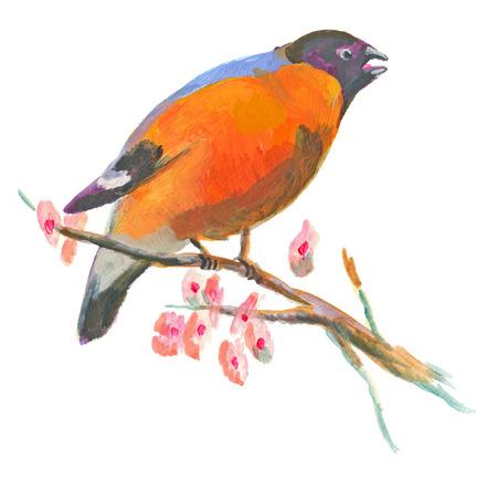 eurasian: An hand painted illustration on white - Bird, Eurasian bullfinch (original, acrylic painting)