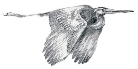heron: An hand drawn illustration, pencil technique. Bird, flying Heron (drawing on white background).