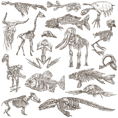 Bones and Skulls of different Animals - Collection of an hand drawn illustrations. Full sized hand drawn illustrations, Originals, freehand sketching, drawing on white background. Imagens - 48648534