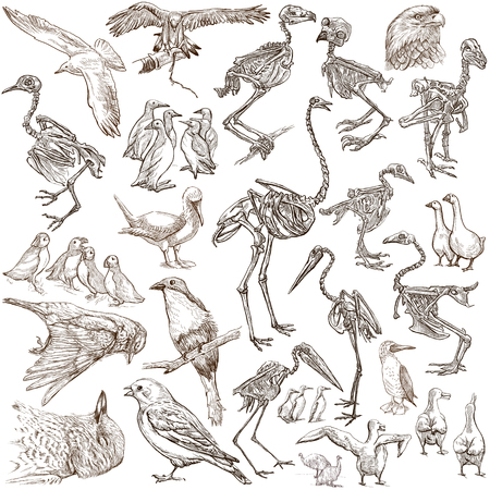 hand bones: Bones, Skulls and Living Birds - Collection of an hand drawn illustrations. Full sized hand drawn illustrations, Originals, freehand sketching, drawing on white background.
