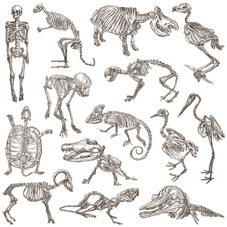 lagartija: Huesos y Calaveras de diferentes animales - Colecci�n de una dibujados a mano ilustraciones. Ilustraciones a todo dibujados mano de tama�o, originales, bocetos a mano alzada, dibujo sobre fondo blanco. Foto de archivo