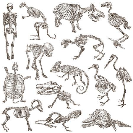 jaszczurka: Kości i czaszki różnych zwierząt - Kolekcja ręką rysowane ilustracje. Pełne wielkości ręcznie rysowane ilustracje, Originals, odręczne rysowanie, rysunek na białym tle. Zdjęcie Seryjne