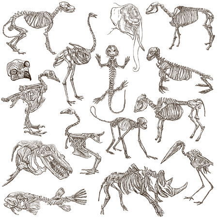 draft horse: Bones and Skulls of different Animals - Collection of an hand drawn illustrations. Full sized hand drawn illustrations, Originals, freehand sketching, drawing on white background.