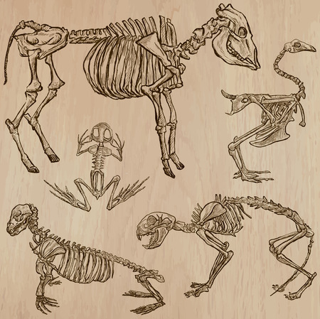 draft horse: BONES, SKELETONS and Skulls of some Animals. Collection of an hand drawn vector illustrations. Freehand sketching. Each drawing comprise a few layers of lines. Background is isolated. Editable in groups.
