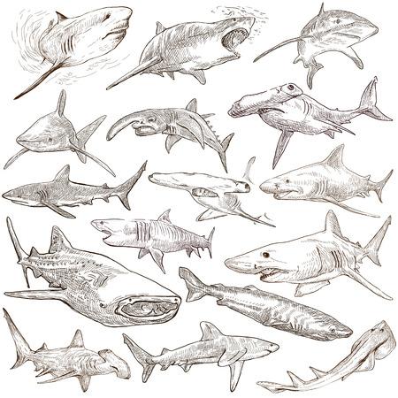 completo: Animales, los tiburones, los cordados. Colección de una ilustraciones dibujadas a mano. Descripción, ilustraciones dibujadas a mano de tamaño completo - bocetos a mano alzada. Dibujos sobre fondo blanco.