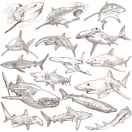 chordata: Animals, SHARKS, Chordata. Collection of an hand drawn illustrations. Description, Full sized hand drawn illustrations - freehand sketches. Drawings on white background.