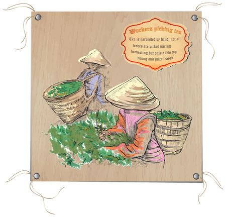 greenfield: TEA. Agriculture. Life of a farmer. Tea harvesting. An hand drawing picture. Hand drawn vector illustration. Freehand sketch of an pickers in the greenfield of the tea.