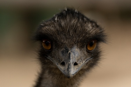 Emu close up portrait photo