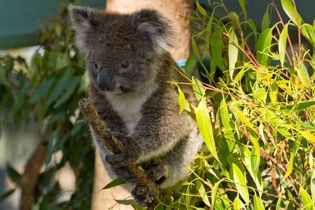 Koala on a branch photo