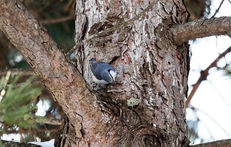 poke: Nuthatch poke a pine tree. Stock Photo
