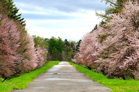 roadside stand: Cherry trees of foreign species sample forest in Asahikawa.