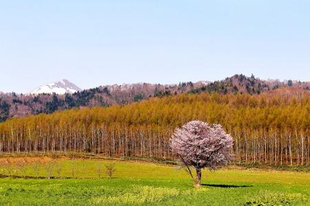tourist destination: One cherry Furano Kamigoryo. One cherry tourist destination visible from along the road.