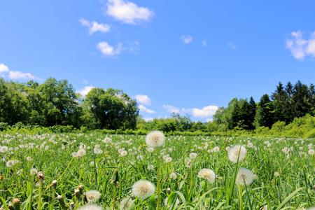 dandelion field: Dandelion field. Puffball. Grassland.